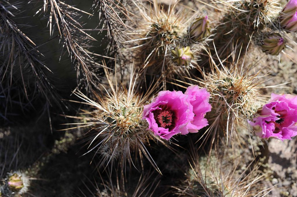Close_up_of_a_flowering_barrel_cactus_with_its_thorns
