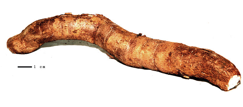 Maniocul figura în meniul mayaşilor